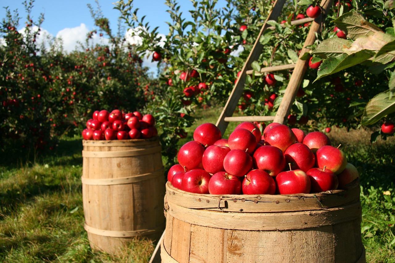 Imatge d'arxiu d'un camp de pomes